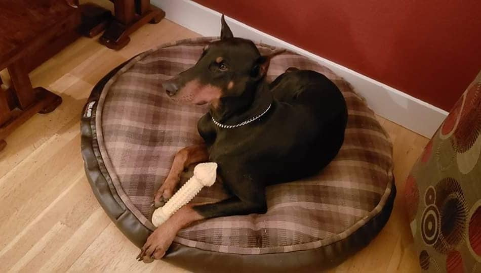 Doberman on His Bed in an Apartment