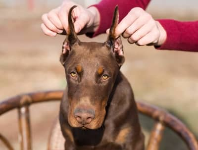 At What Age Can You Crop A Dobermans Ears
