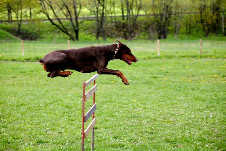 Doberman leaping over a hurdle.