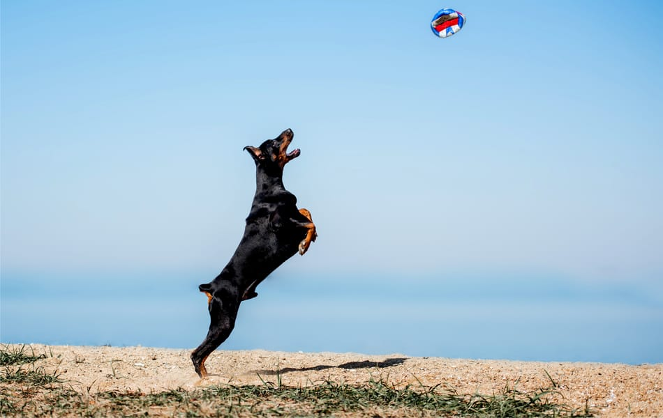 Doberman leaping for a ball high in the air.