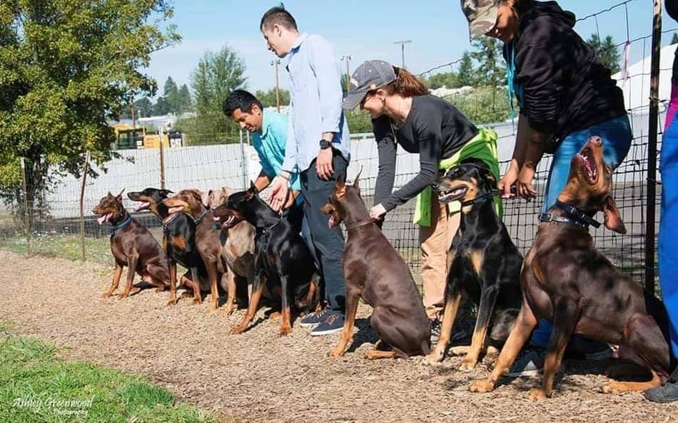 Doberman Pinschers lined up for a race.