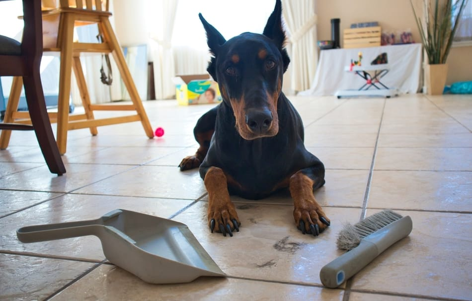 Doberman in front of a pile of his own hair.