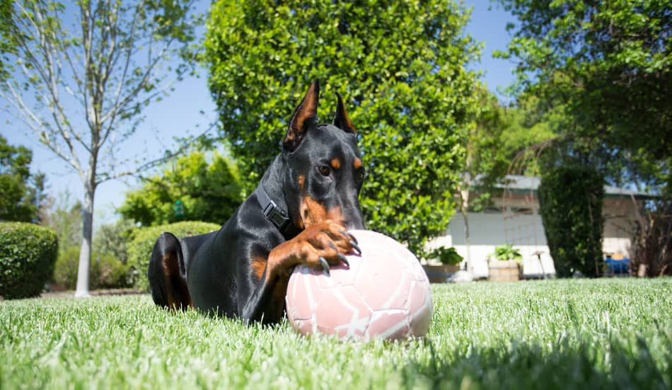 Doberman outside with a ball.