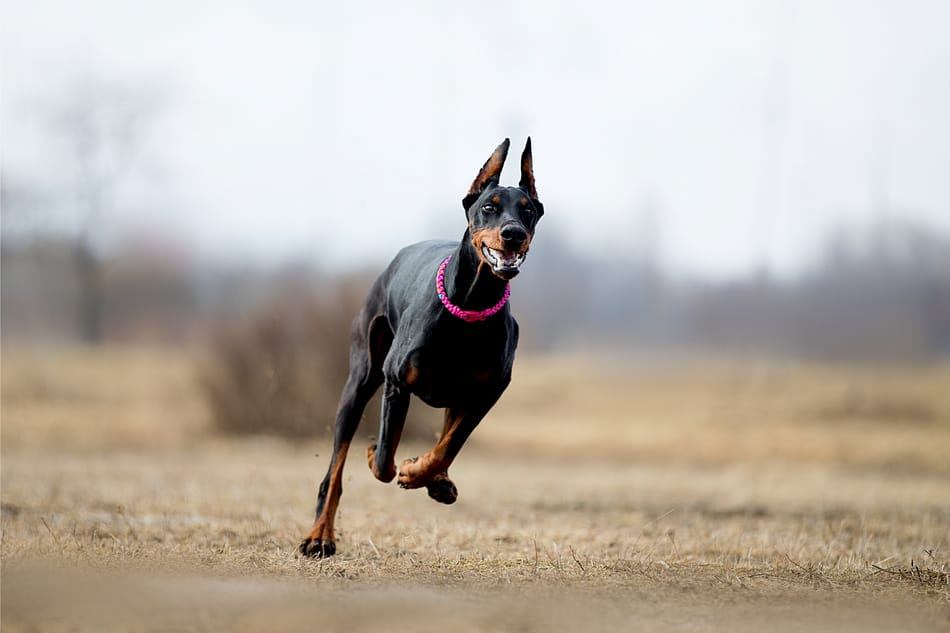A Doberman Pinscher at a full sprint.