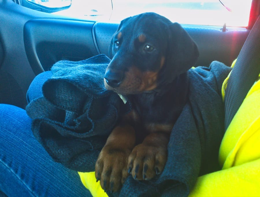 Our new Doberman Puppy's first ride home.