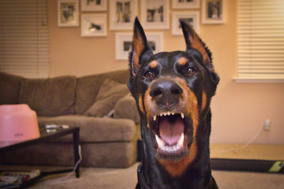 A Doberman Pinscher barking at the camera.