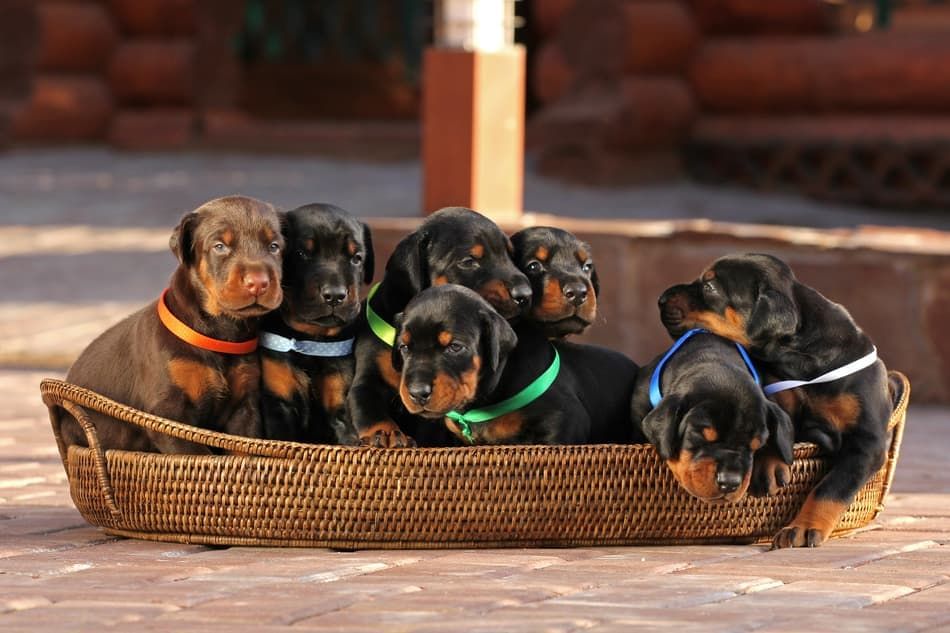 A litter of Doberman Pinscher puppies for sale.
