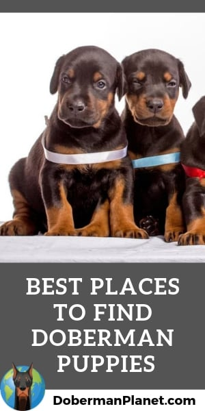 15 Places To Find Doberman Puppies For Sale Best To Worst