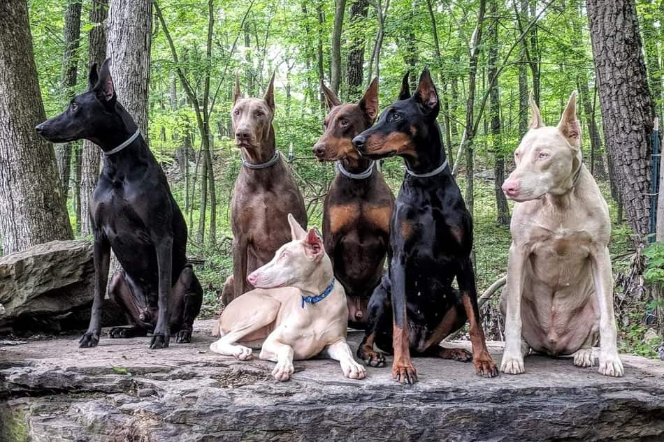 All the colors of a Doberman Pinscher.