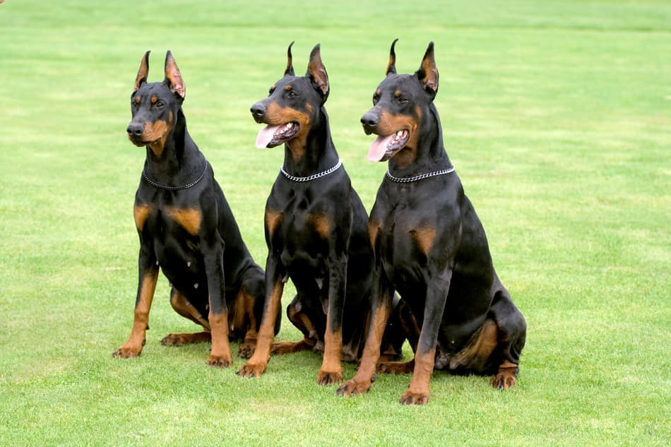Three black Dobermans.