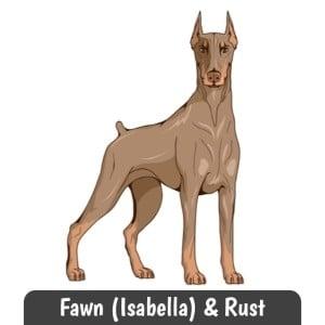 Fawn and Rust Doberman
