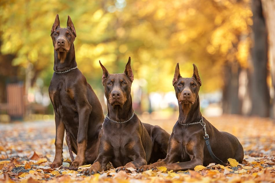 Three red and rust Dobermans.