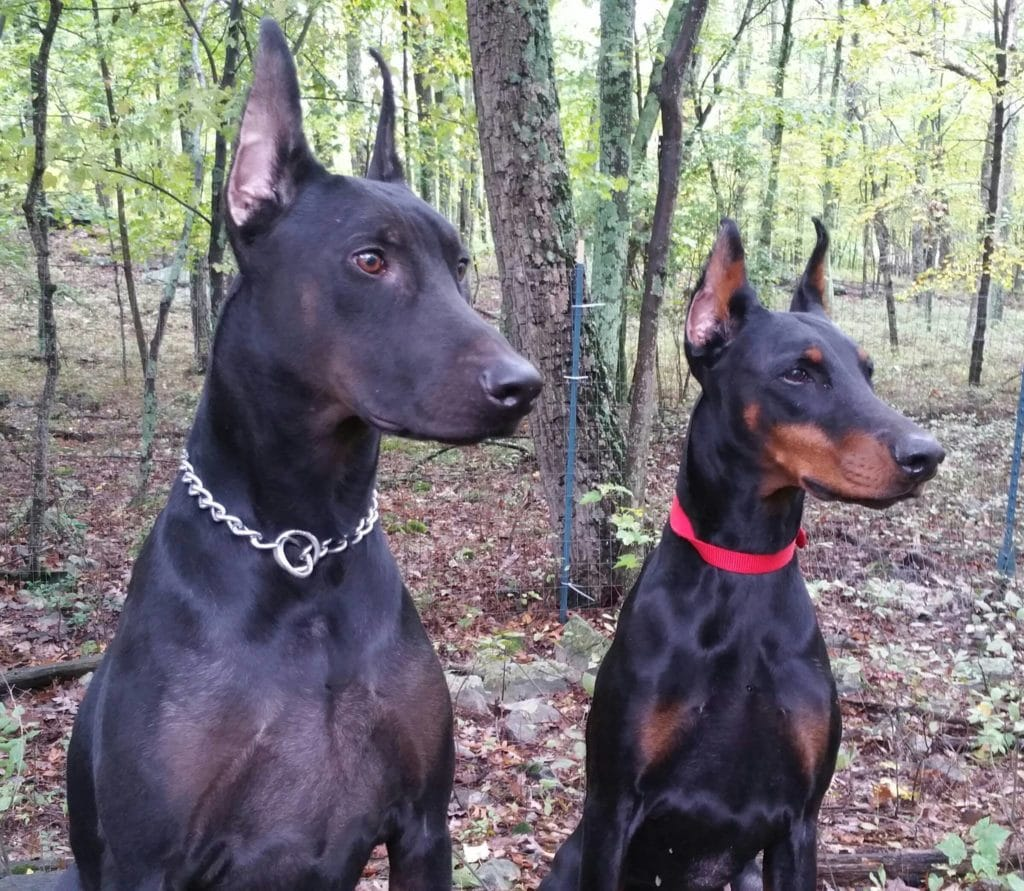 All The Colors And Types Of The Doberman Pinscher Doberman Planet