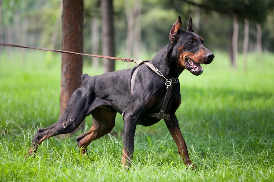 Strong Doberman with good muscle definition.