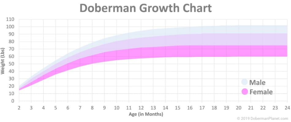 Doberman Growth Chart for Males and Females