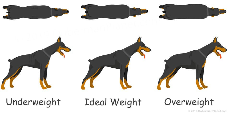 Top and side view of an underweight, ideal weight, and overweight Doberman.
