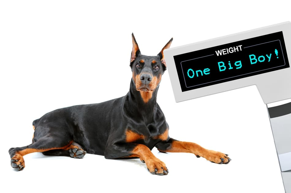 Doberman Weight Growth Curve And