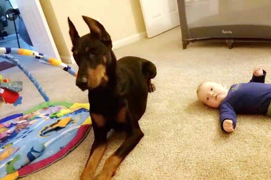 A Doberman babysitting a baby.