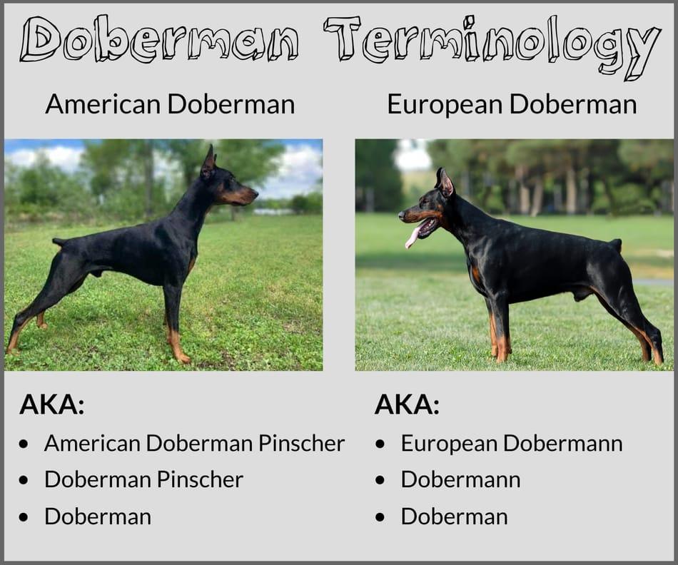 Correct Doberman Terminology