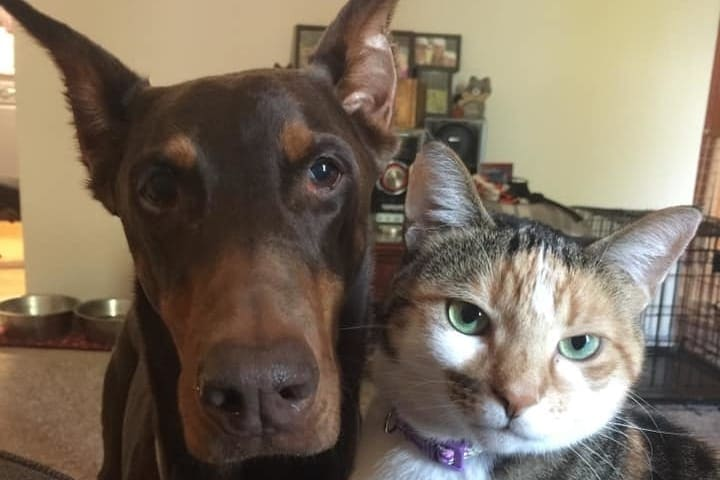A Doberman and a cat posing for a picture together.