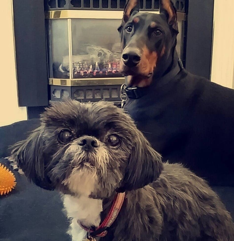 My Doberman Cooper and my wife's Shih Tzu, Rocky.