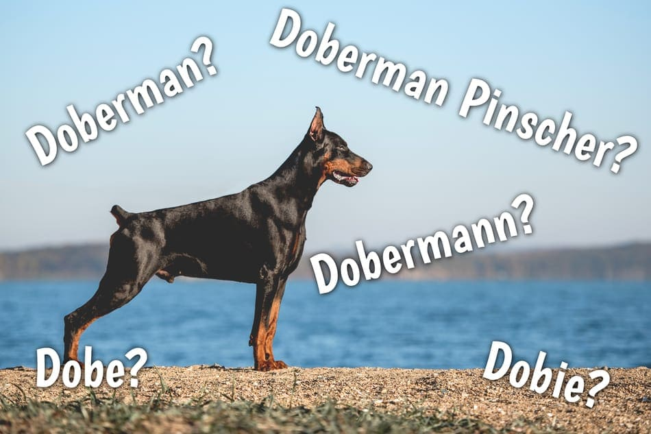 What's the difference between Doberman, Doberman Pinscher, and Dobermann?