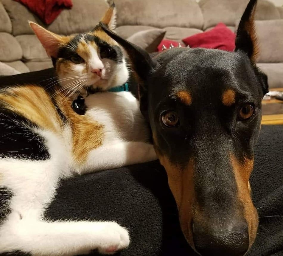 A Doberman relaxing with a housecat.