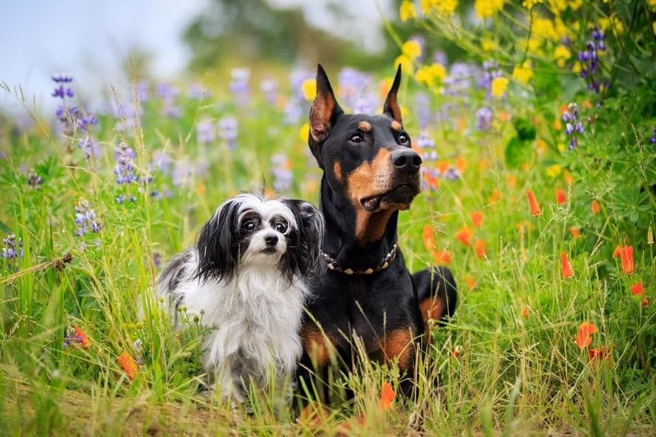 A Doberman getting along perfectly with a small dog.
