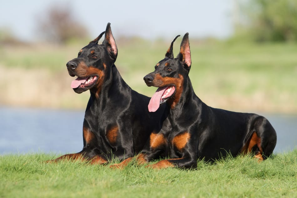 Doberman couple in sitting together in the grass.