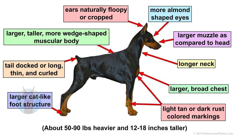 Doberman Pinscher physical traits as compared to a Miniature Pinscher.