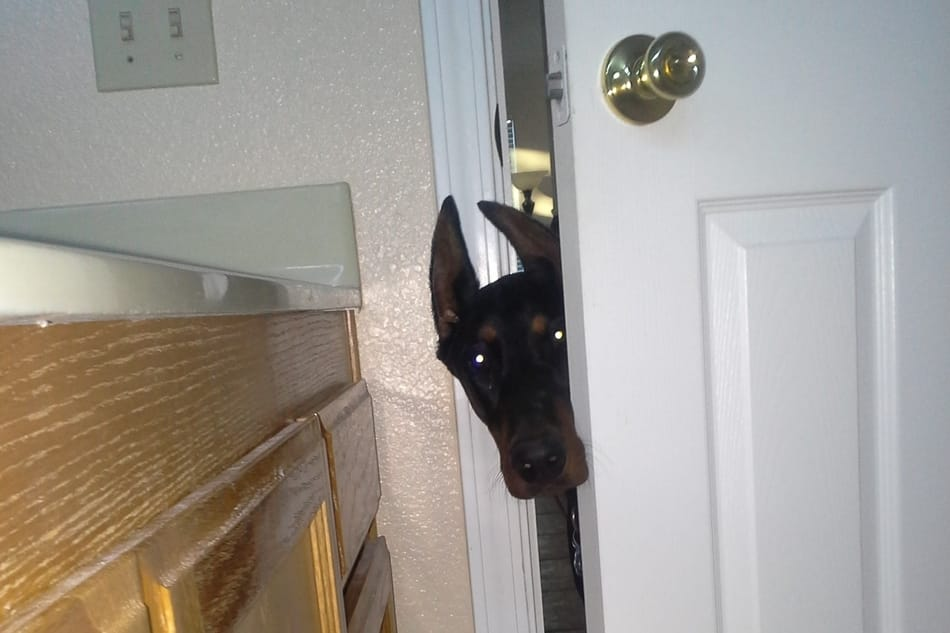 My Doberman refusing to let me go to the bathroom in peace.