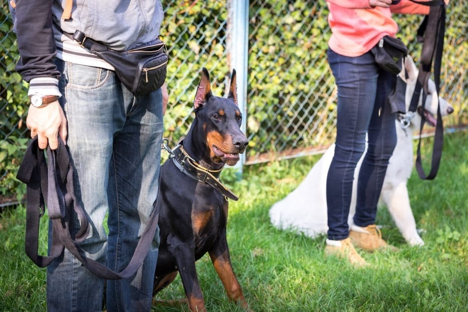 A Doberman sitting at attention during a training session.
