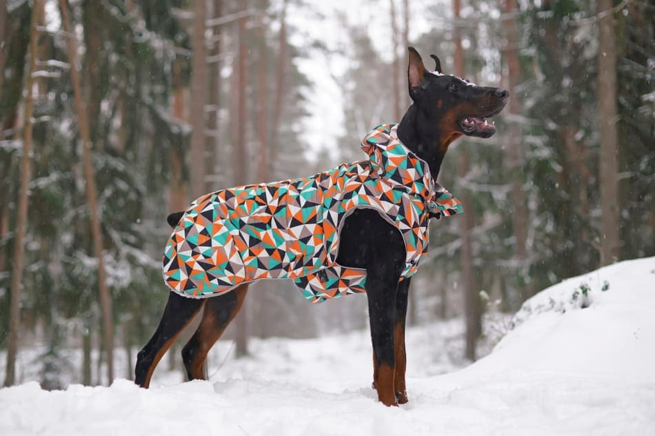 A Doberman in the snow with a winter jacket on.