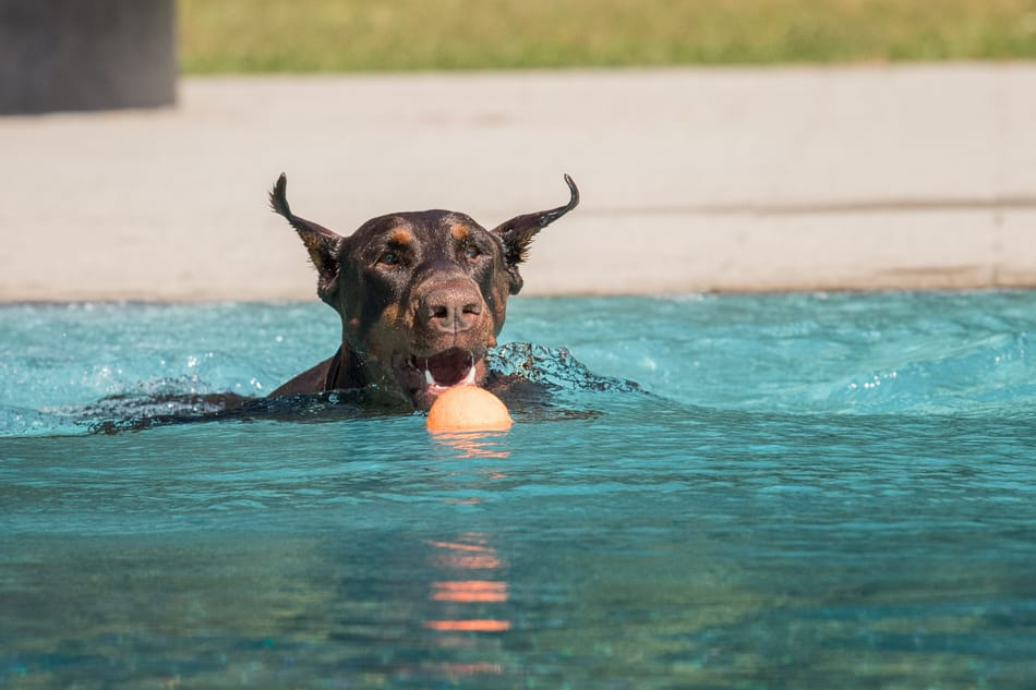 Doberman in a swimming pool going for a ball.