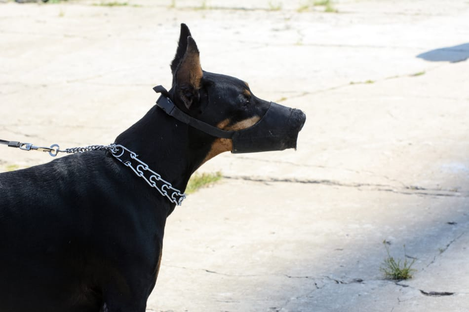 A Doberman in a fabric muzzle.
