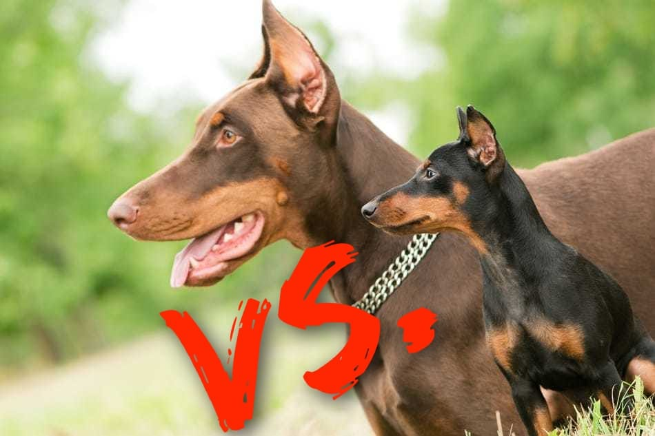Doberman Vs Miniature Pinscher What S
