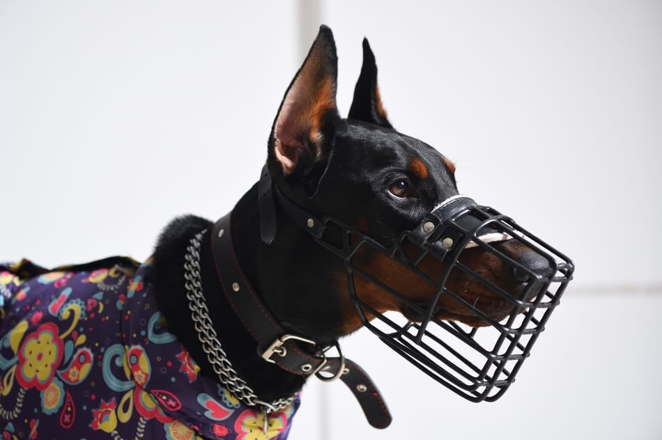 Doberman wearing a wire muzzle.