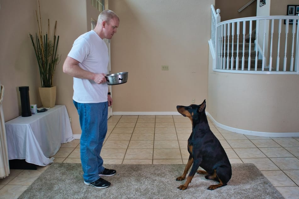 Using feeding time as training motivation for my Doberman.