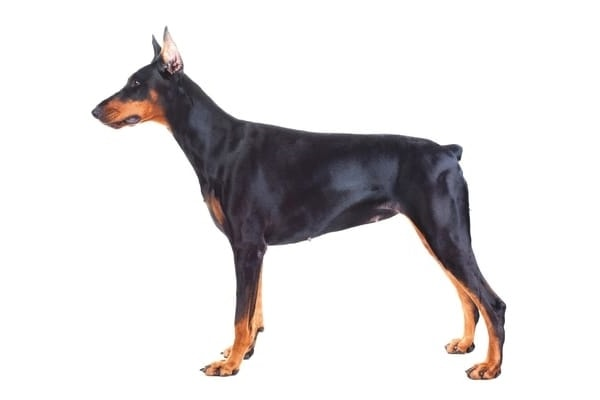Example of a female Doberman Pinscher.