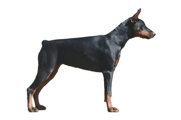 Example of a male Doberman Pinscher.