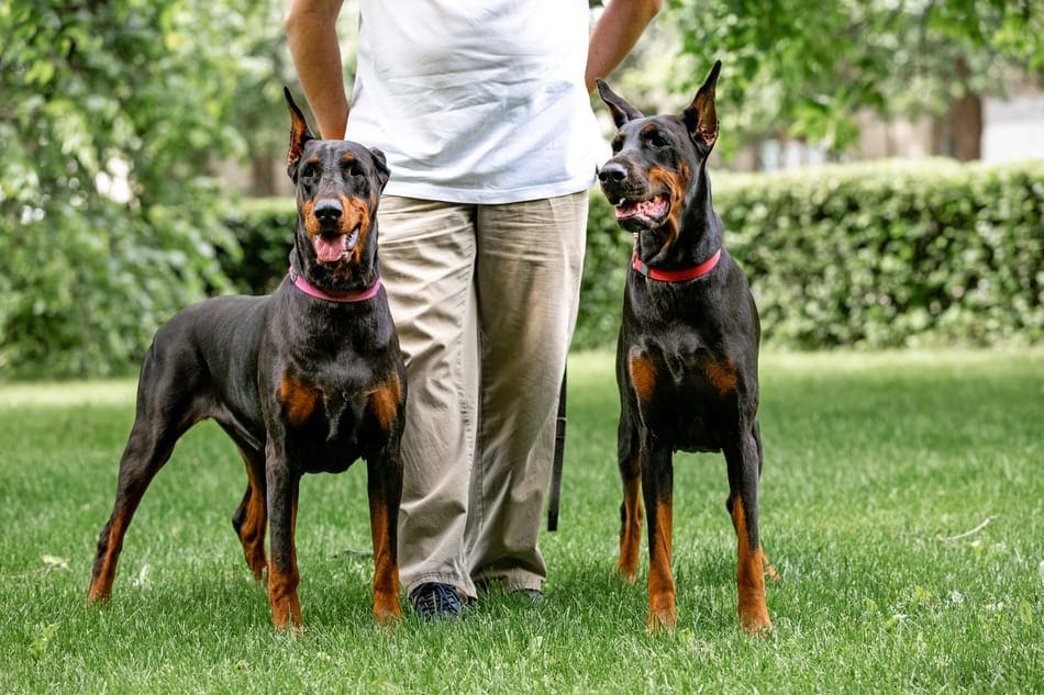 An owner with his male and female Doberman guard dogs.