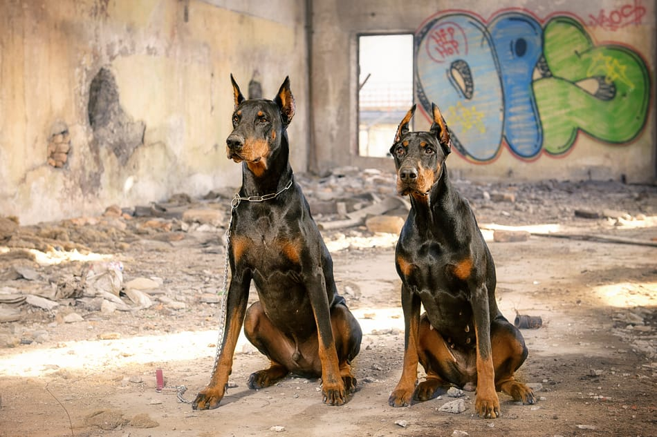 Male and female Doberman sitting together.