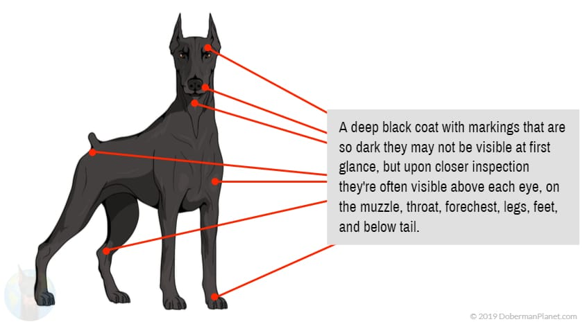 Diagram of the All-Black or Melanistic Doberman
