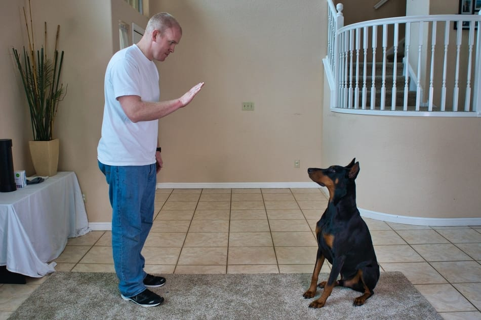 Practicing the stay command with my Doberman.