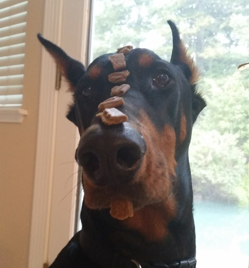 My Doberman is balancing treats on his nose without drooling at all.