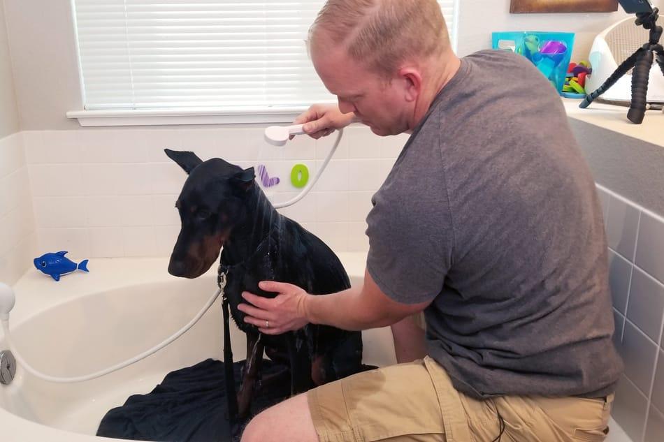 Rinsing my Doberman during a bath.