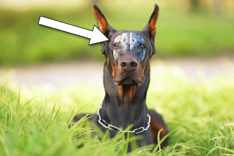 A view of a Doberman's brain inside the dog's head.