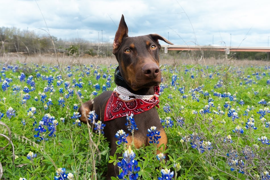 A loving Dobeman poses for a picture in a field for their owner.