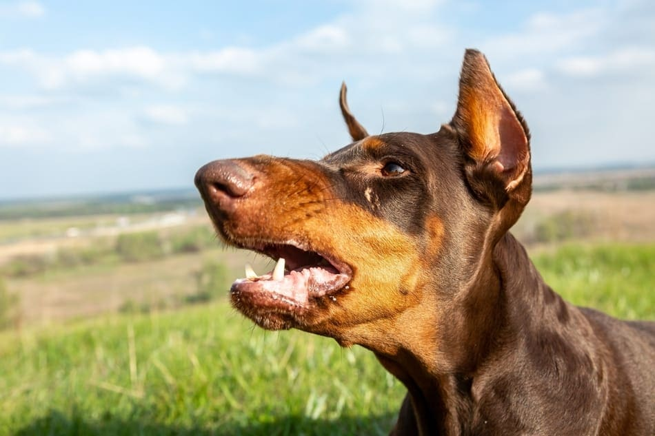 Doberman barking long distances outdoors.