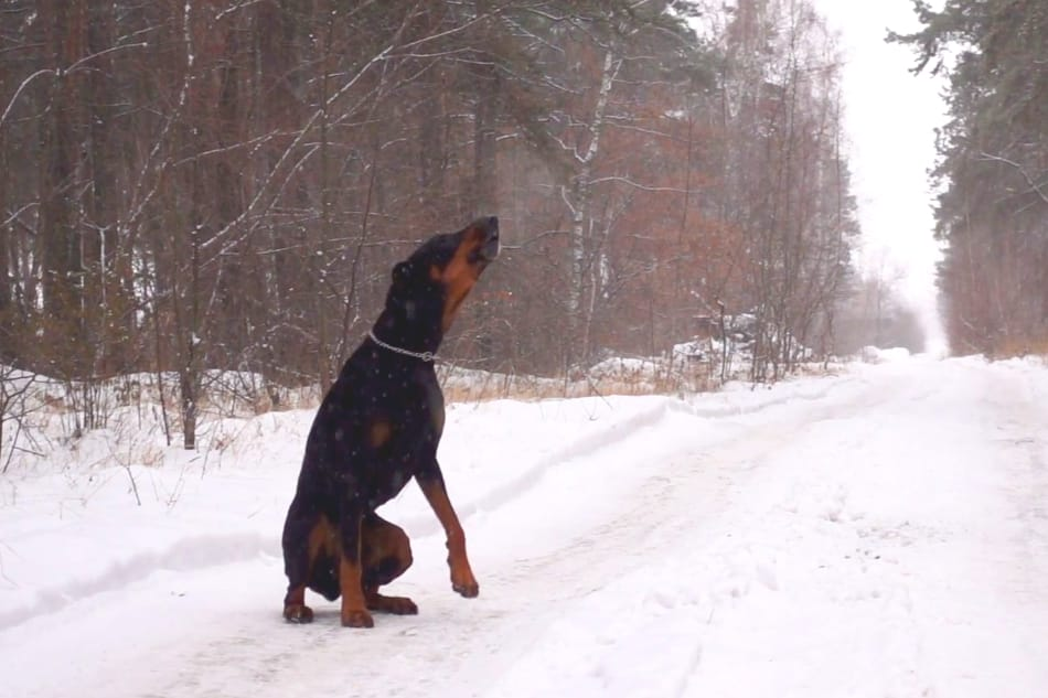 A Doberman is howling for its owner in the snow.